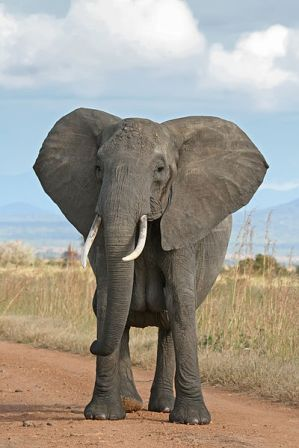 Facts about African Elephants - Bush Elephant