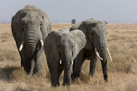 Facts about African Elephants - Female bush Elephant