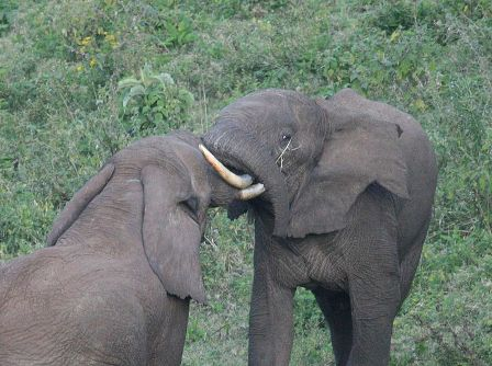 Facts about African Elephants - Small Bush elephant