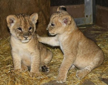 Facts about African lions - Cubs