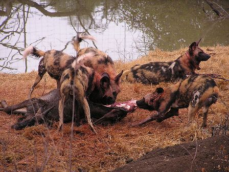 Facts about African wild dog - Hunting and eating