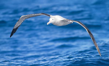 Facts about albatrossess - Flying