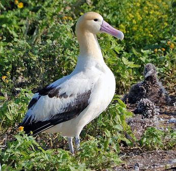 Facts about albatrossess - Short-tailed albatross