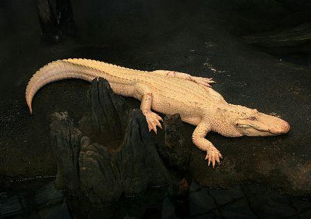 Facts about alligators - Rare albino alligator