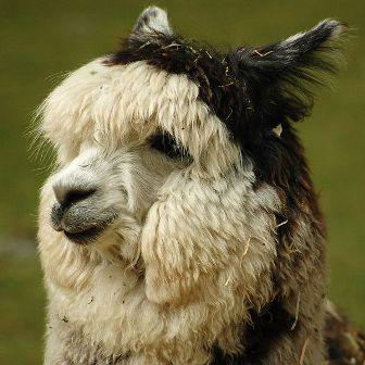 Facts about alpacas - Alpaca headshot