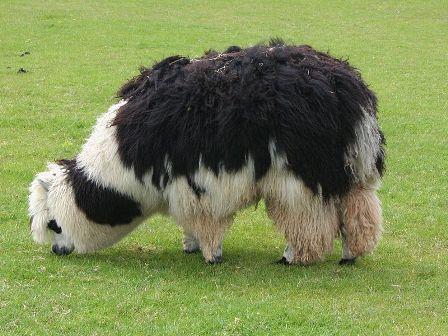 Facts about alpacas - Alpaca