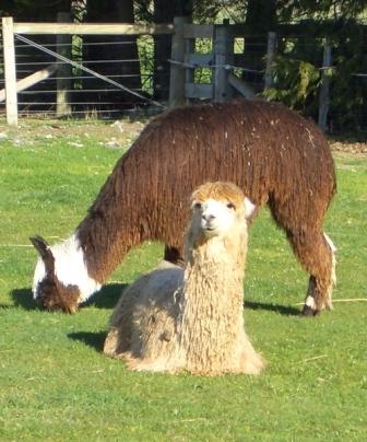 Facts about alpacas - Suri alpaca
