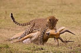 Amur leopard catches its prey