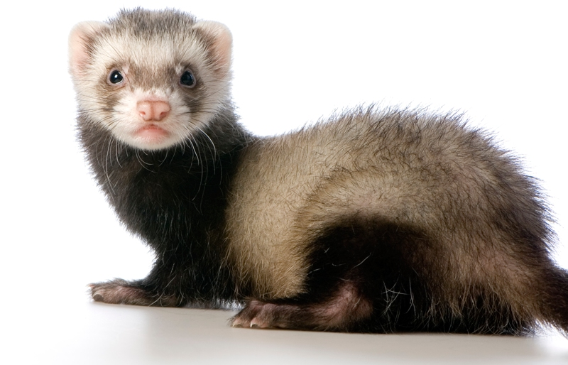 10 Interesting Facts about Ferrets | 10 Interesting Facts