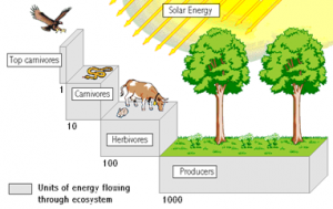 Energy loss along food chain