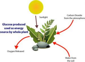 Plant is the source of energy of food chain