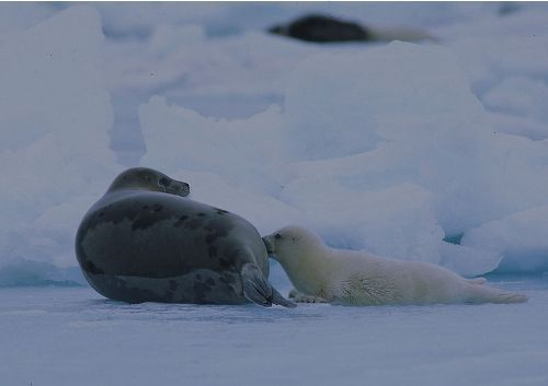 Facts about Harp seal