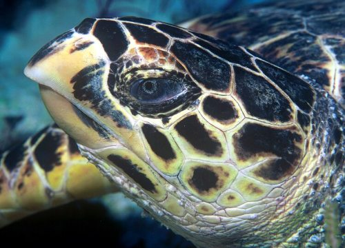 Facts about Hawksbill Turtles
