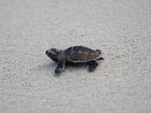 Hawksbill Turtles Cute