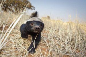 The habitat of honey badger