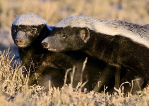 A group of honey badger