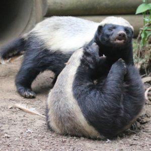 Male and Female Honey Badger