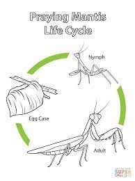 The metamorphosis of stick insect
