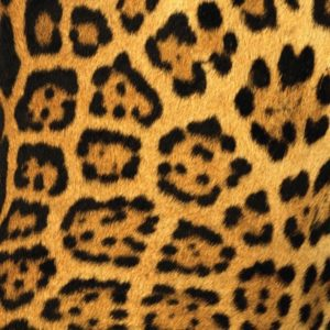The color of the fur with black spots