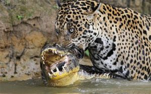 The diet of jaguar