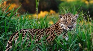 The habitat of jaguar