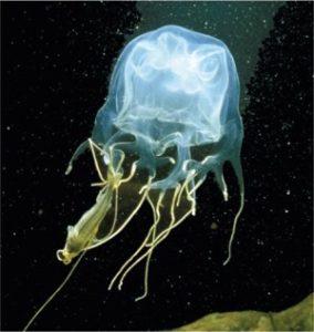 The diet of Box Jellyfish