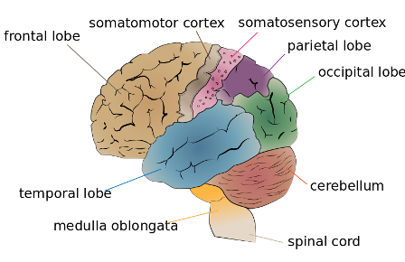 Facts about ADHD - Cerebrum Lobes