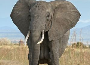 10 Interesting Facts about African Elephants