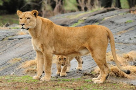 Facts about African lions - Female lion