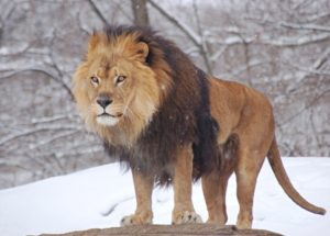 10 Interesting Facts about African Lions