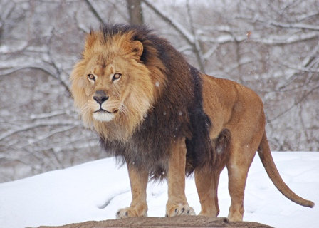 Facts about African lions - Male lion