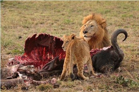 Facts about African lions - Prey