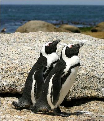 Facts about African penguins - African penguin in Boulder Bay