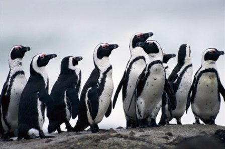 Facts about African penguins - Groups of African penguin