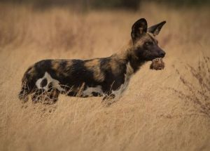 10 Interesting Facts about African Wild Dogs