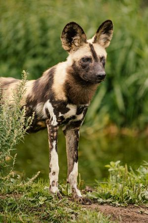 Facts about African wild dog - In Ree Park, Denmark