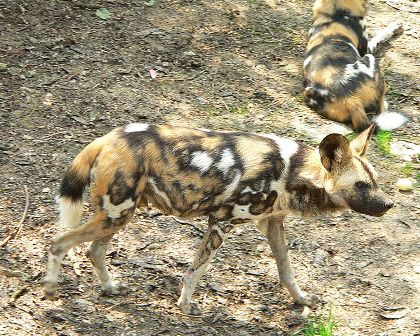 Facts about African wild dog - Variation in coloration