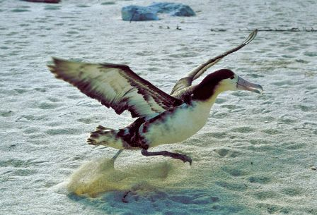 Facts about albatrossess - Catching on prey