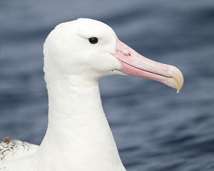 Facts about albatrossess - Portrait