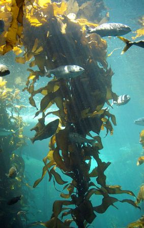 Facts about algae - Kelp