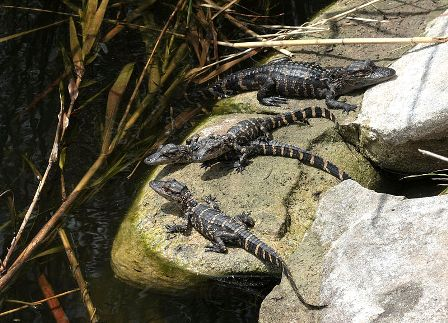 Facts about alligators - Baby alligators