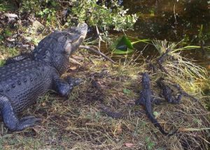 10 Interesting Facts about Alligators