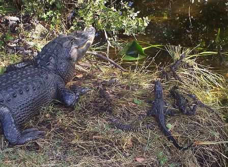 Facts about alligators - Everglades National Park