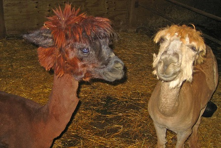 Facts about alpacas - Shorn alpaca