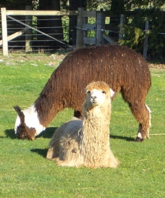Facts about alpacas - Suri alpaca