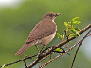 Amazon Bird - Screaming Piha
