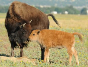 A bison and baby bison