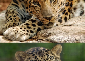 10 Interesting Facts about Amur Leopards