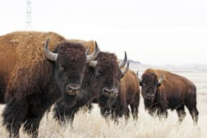 Bison at Rocky Mountain