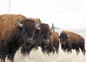 10 Interesting Facts about American Bison